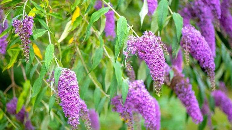 Buddleja pruning gardener's world