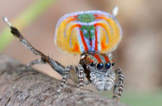 This is the peacock spider Maratus volans. Jürgen Otto was the first to film this spider's mating dance.