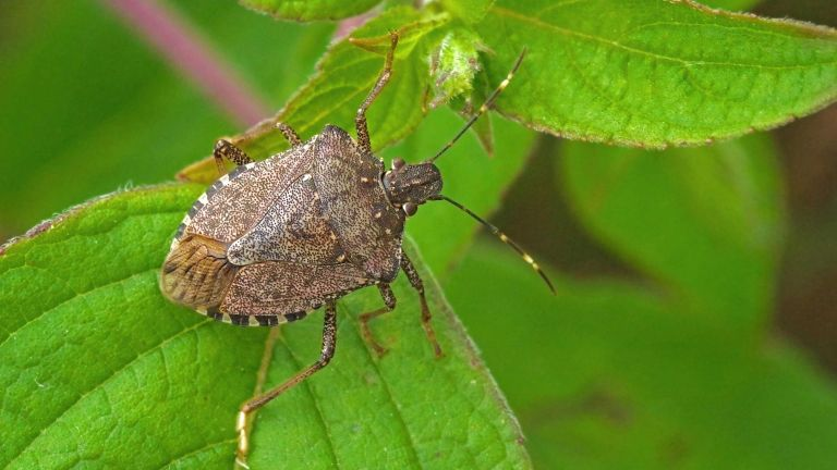 how to get rid of stink bugs: brown marmorated stink bug