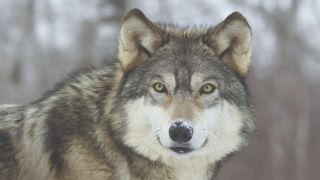 Wolf-dog looking straight at the camera with snow on the end of his nose