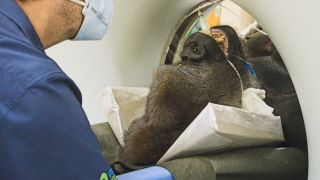 This was the first CT scan performed on a gorilla at the University of Pretoria.