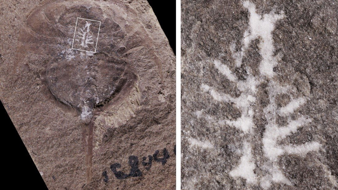 This fossilized horseshoe crab (Euproops danae), shown in the left image, held a perfectly preserved mold of its brain, shown close-up in panel B.