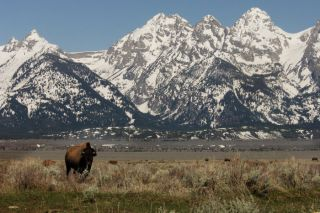 native americans, american indians, bison, buffalo