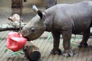 cute baby animals, eastern black rhinoceros calf