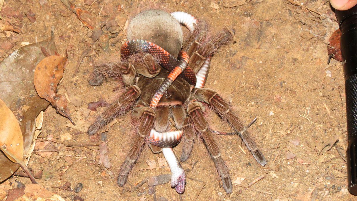 Photos: Spiders feast on deadly snakes