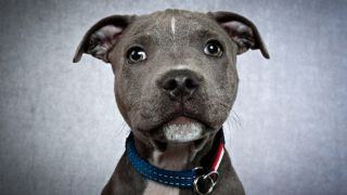 Staffies are the top victims of dogknapping in the UK