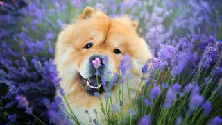 Chow Chow in a field of lavender