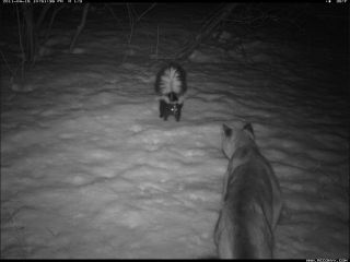 Skunk faces down couger in camera trap photo