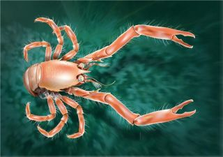 Newfound squat lobster