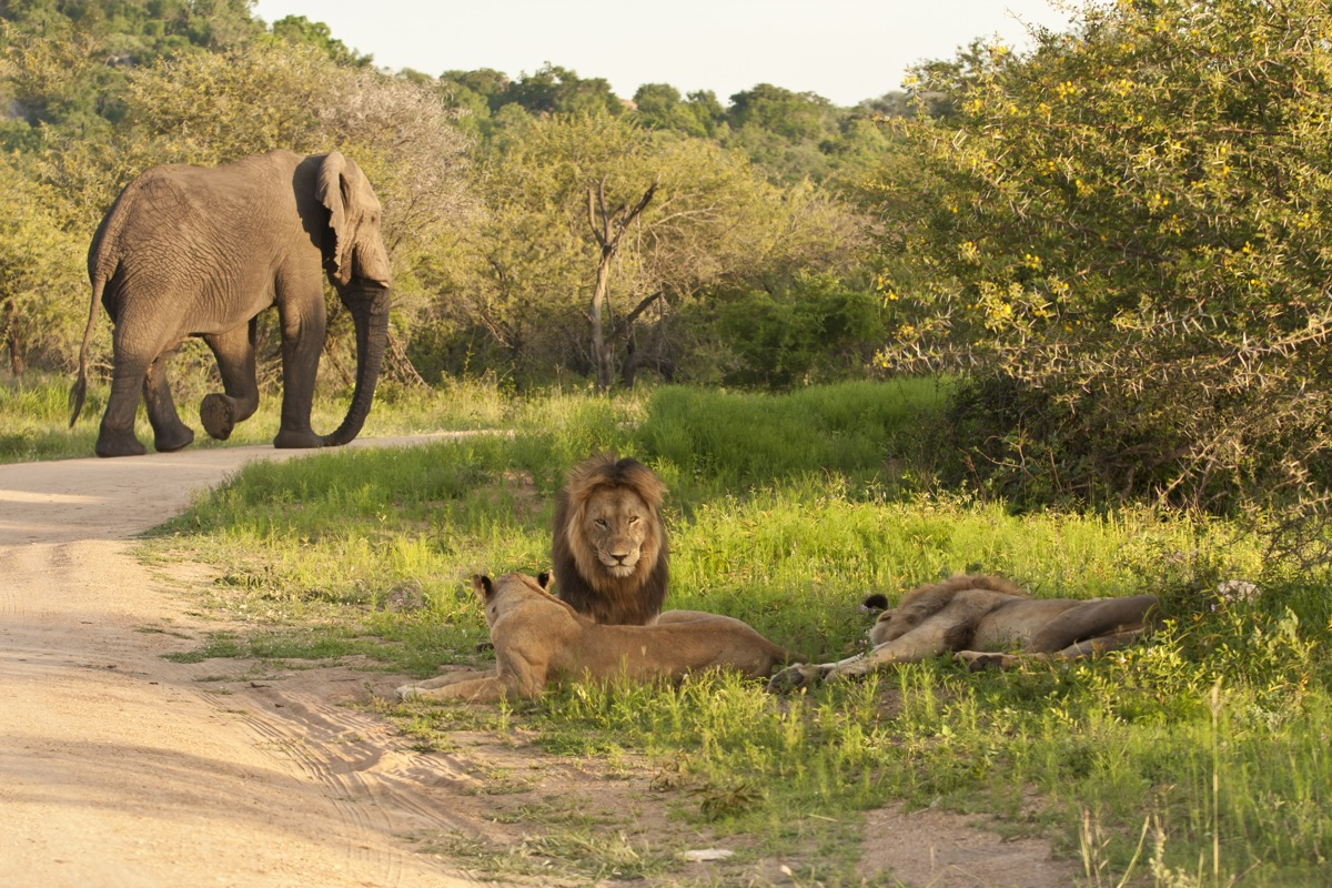 Poacher Killed by Elephant and Eaten by Lions in South