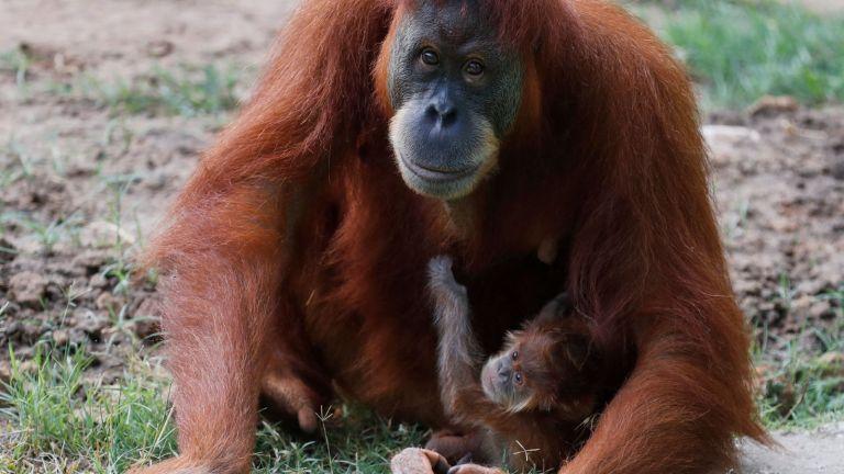 A newborn Orangutan clings to its mother at the Ramat Gan Safari Park zoo, in the central Israeli city of Ramat Gan, on July 27, 2021.