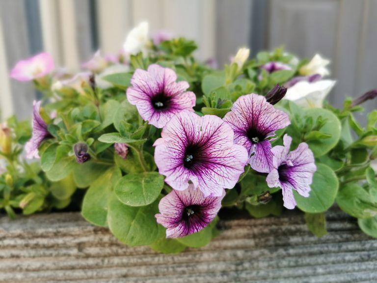 how to deadhead petunias purple petunias in window box