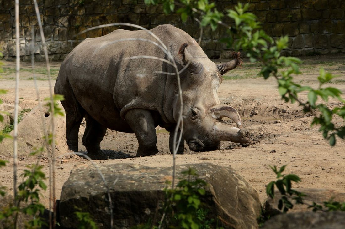 Northern White Rhino Dies, Leaving Only 4 Left on Earth