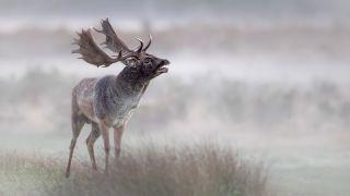 Buck in the mist
