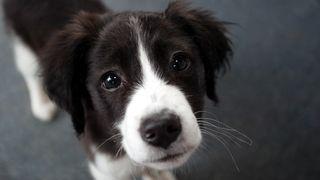 An adorable border collie puppy