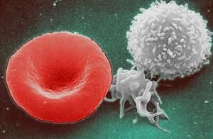 red_white_blood_cells-02