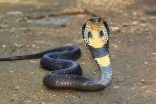 A king cobra snake raises its head.
