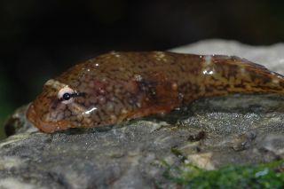 Clingfish on a rock