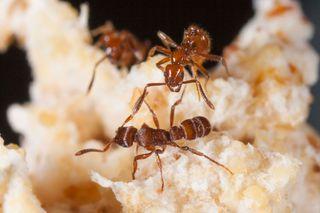 <em>Megalomyrmex symmetochus</em> guest ant parasite (top) confronts the <em>Gnamptogenys hartmani</em> raider ant (bottom).