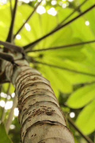 Azteca ants on tree trunk