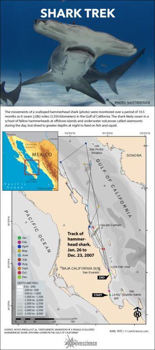 Map shows shark movements.