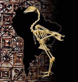 Chicken Bones Suggest Polynesians Found Americas Before