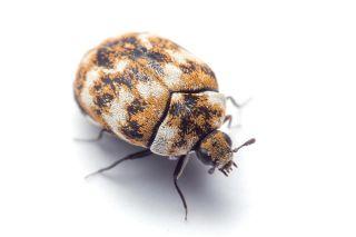 Carpet beetle, indoor arthropods