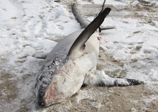 A frozen, dead thresher shark washed up on Cape Cod at the end of December.