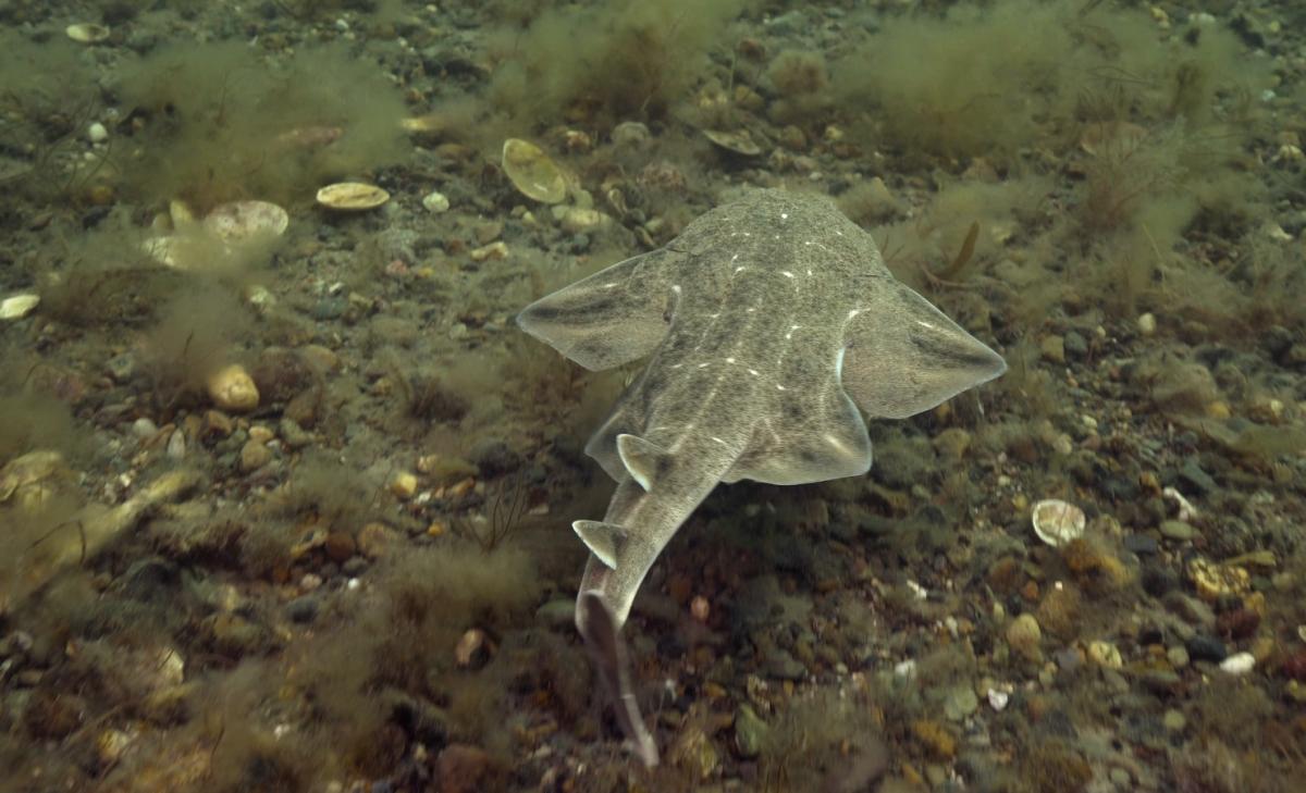 Elusive angel shark shows off its ninja ambush skills in rare underwater footage