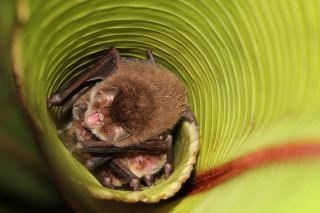 Spix's disc-winged bats roost