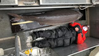 A member of the Alpena Fish and Wildlife Conservation Office survey crew lays down beside the 6 foot 10 inch lake sturgeon, which was pulled from the Detroit River.