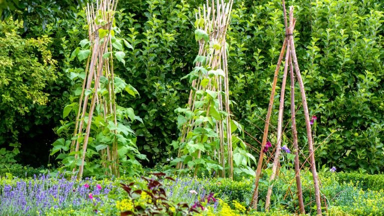 sweet peas in garden on wigwams