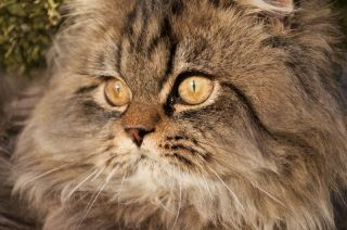 Hazel eyed Persian cat