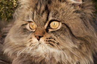 Hazel eyed Persian cat