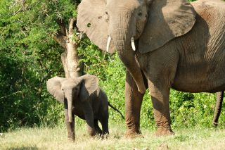 elephants, ivory, poaching