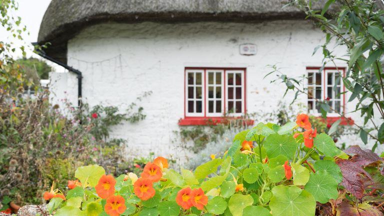 nasturtium growing in front of cottage