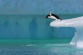 Adelie penguin dives off iceberg in Antartica.