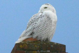 A snowy owl, owls