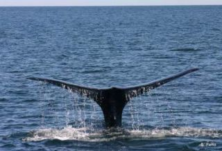 right-whale-tail-100707-02