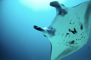 A manta ray off of Papua New Guinea