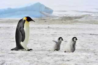 Adult Emperor penguin with two penguin chicks.