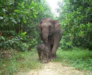 elephants, sumatran elephants, endangered elephants, elephants close to extinction, extinct elephants, endangered species, endangered species news, deforestation in sumatra, pulp and paper companies and deforestation, palm oil companies and deforestation