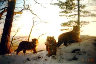 Tiger cubs in Russia's Far East