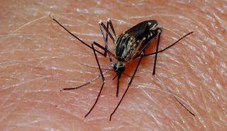 mosquito, disease