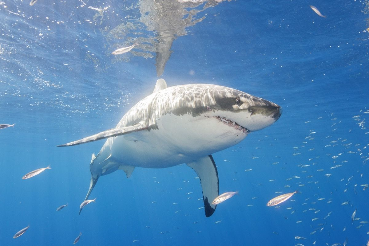 An Enormous Great White Shark Is Cruising Toward The Outer Banks But There S Nothing To Fear Live Science
