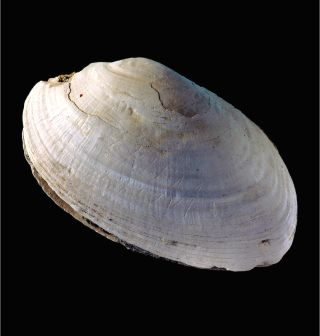 Homo erectus shell carving photo