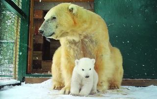 On 3 January 2018 the RZSS Highland Wildlife Park, based near Aviemore in Scotland, announced that its female polar bear Victoria had given birth to a cub – the first polar bear to be born in captivity in the UK for 25 years.