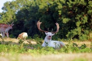 white deer sneezing