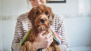 Dog shivering after bath