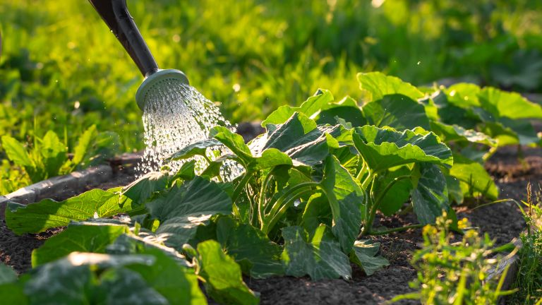 Abundant watering of zucchini growing in rows from a spray can